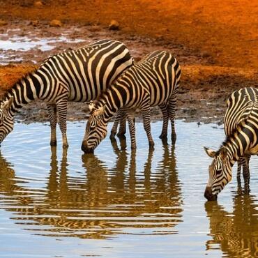 Waarom zebra's geen maagzweer krijgen…